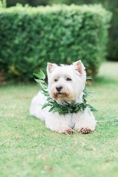 Pets at Weddings | Dog in Laurel Collar | Scampston Hall Yorkshire | Samantha Ward Photography | http://www.rockmywedding.co.uk/bianca-sam/