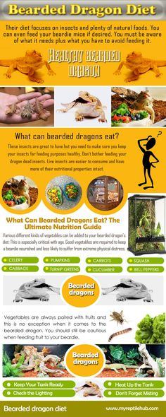 Try this site www.myreptilehub.... for more information on Bearded Dragon Diet. Bearded dragons are superb pets for adults or kids, and are often used in schools as class pets. A Bearded dragon takes up less space than a dog or cat and is much cleaner. Bearded Dragon is not prone to bad health but they can get worms or mites.