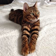 TOYGER -  blend of Bengal and striped domestic shorthair cat to have markings resembling  tiger stripes. No wild blood in them.