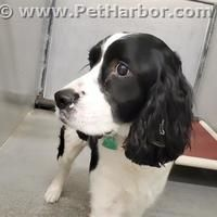 Conroe Tx English Springer Spaniel Meet Davy Crockett A Pet