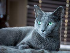 Beautiful eyes russian blue cat kitty