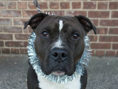 SUPER URGENT 1/9/14- Brooklyn Center    AUGUSTUS - A0988166   MALE, BLACK / WHITE, STAFFORDSHIRE MIX, 3 yrs  STRAY Perfectly behaved and totally housetrained. He's so cute. AUgustus leans in to be petted and loved! Sits nicely for treats and walks great on a leash. ACED HIS BEHAVIOR EVAL!!!  This means he would fit in most homes :) Peaceful, calm, loving 3 year old who is looking for a loving, forever owner that just wants to play, go for walks and show him the fantastic life of a pet!