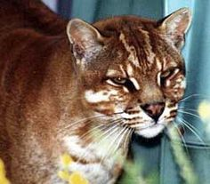 Temminck's golden cat may be found in the forests and rocky areas of Asia from the Himalayas to the Maylay Peninsula