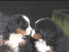 Bernese Mountain Pups love everyone and everything and never outgrow it.