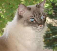http://aliciac.hubpages.com/hub/Ragdoll-Cats-and-Kittens-A-Photo-Gallery-and-Information