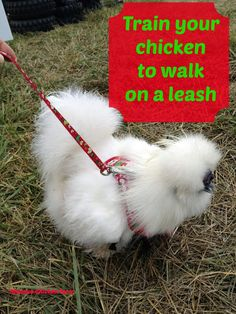 chicken training: walk on leash. Your chickens can learn to walk on a leash in just a few short steps. Silkie Chickens, Pet Chickens, Chickens Backyard, Fancy Chickens, Keeping Chickens, Raising Chickens, Chicken Harness, Fluffy Chicken, Gardens