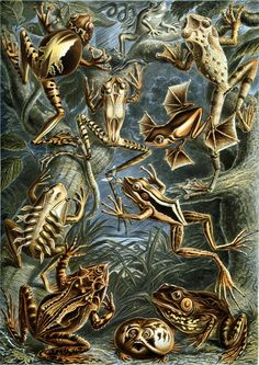Google Image Result for http://www.copyrightfreephotos.hq101.com/d/3066-6/Ernst_Haeckel_-_Frogs_-_Batrachia.jpg