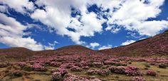 Azaleas, in Luquan, chinakunming.travel #DiscoverKunming