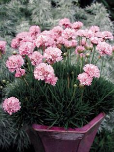Armeria Pink Petite - Thrift for sale on Trade Me, New Zealand's auction and classifieds website Plant Images, Home Living, Thrifting, Flowers, Pink, Colour, Color, Florals, Budget