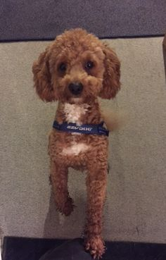"""Meet """"Rocco""""  the Cavoodle! We sent him via Houston all the way to San Jose, Costa Rica!"""