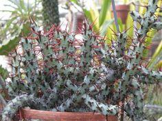 Euphorbia aeruginosa – Miniature Saguaro - See more at: http://worldofsucculents.com/euphorbia-aeruginosa-miniature-saguaro