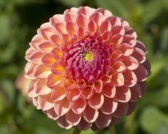 L. A. T. E. (#2071) Classification: Balldahlien Color: lachsorange, lila Hauch Height: circa 130 cm Blossom size: 7 cm - 10 cm