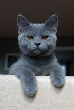 it's not a Russian blue cat but I still think this one is beautiful