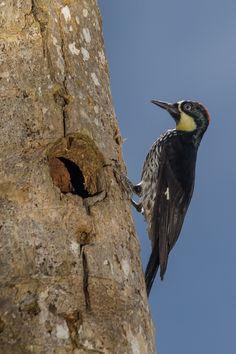 Melanerpes formicivorus Carpintero de los robles Acorn woodpecker
