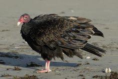 Turkey Vulture Fluffed Up Photograph by Bradford Martin