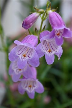 Sweet Joanne Penstemon:  A native California wildflower and hummingbird attractor