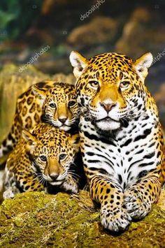 Jaguar ile sevimli yavruları