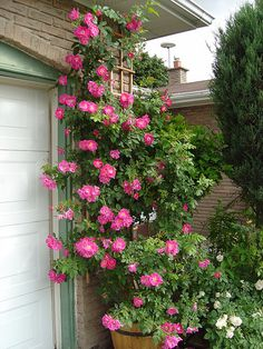 William Baffin roses climbing - a favorite, easy rose.