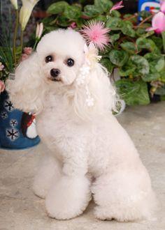 ティファニー・プリンセス --愛犬の友 ヘアスタイルカタログ--