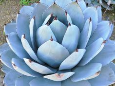 Agave parryi var. truncata 'Huntington' is an evergreen, perennial succulent forming tight rosettes... #agave #succulentopedia #succulents #CactiAndSucculents #WorldOfSucculents #SucculentLove #succulent #SucculentPlant #SucculentPlants #succulentmania #SucculentLover #SucculentObsession #SucculentCollection #plant #plants #SucculentGarden #garden #desertplants #nature