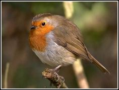 british robin - Google Search