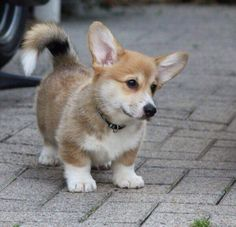 Long tailed Corgi
