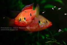 "Red Jewel Cichlids: Photo des Tages - Hemichromis sp. ""Gabun"""