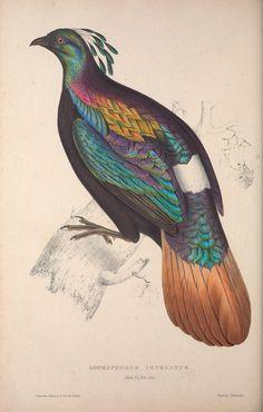 Lophophorus impeyanus. A century of birds from the Himalaya Mountains London,1831. Biodiversitylibrary. Biodivlibrary. BHL. Biodiversity Heritage Library