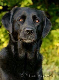 Mans Best Friend, Best Friends, Psi, I Still Miss You, Black Labrador Retriever, Black Labs, Labradors, Dogs Of The World, Dog Photos