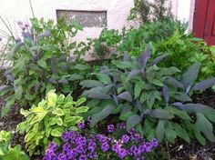 Herb Garden w thyme (purple flowers), two different kinds of sage and parsley
