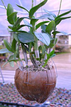 Thailand coconut planter (Wil 5873)