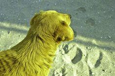 yeller Brown Bear, Animals, Animales, Animaux, Animal, Animais