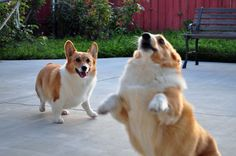 The Daily Corgi Lift-Off Monday: 10 Corgis Who Believe They Can Fly