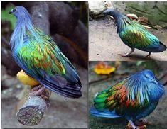 Funny pictures about Nicobar Pigeon. Oh, and cool pics about Nicobar Pigeon. Also, Nicobar Pigeon photos. The Meta Picture, Picture Day, Animals And Pets, Funny Animals, Cute Animals, Beautiful Creatures, Animals Beautiful, Nicobar Pigeon, Most Beautiful Birds