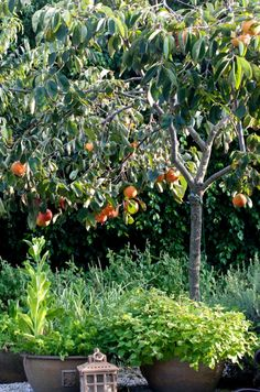 Persimmon Trees – How to grow & reduce flower/fruit drop on Persimmon Trees