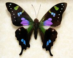 Purple spotted swallowtail - photo#11