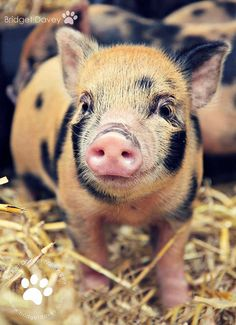 My hubs and I have seriously been considering getting a micro pig. They make amazing pets. My hubs and I have seriously been considering getting a micro pig. They make amazing pets. Cute Baby Pigs, Cute Piggies, Cute Baby Animals, Funny Animals, Farm Animals, Pot Belly Pigs, Teacup Pigs, Mini Pigs, Mundo Animal