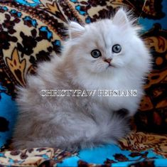 Silver, Shaded Silver, Chinchilla Golden & Blue Golden Persian kittens for sale Persian Kittens For Sale, Kitten For Sale, Persian Cats, White Kittens, Cats And Kittens, Kitty Cats, Spoiled Rotten, Chinchilla, Strike A Pose