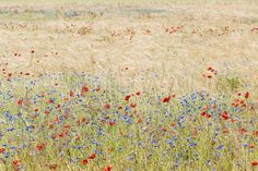 Rye Field with Flowers - Wall Mural & Photo Wallpaper - Photowall