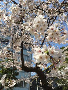 Sakura in Akiba