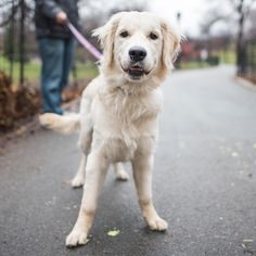 """Loki Icepelt, Golden Retriever (6 m/o), Riverside Park, New York, NY • """"'Loki' is for mischief, though she's not very mischievous. Her other name? I just thought it was funny."""""""