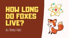 How Long do Foxes Live | The Surprising Answer Fox Information, Fox Video, Foxes, Live, Videos, Fox