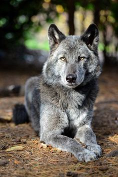 A wolfdog (also called a wolf–dog hybrid or wolf hybrid) is a canid hybrid resulting from the mating of a gray wolf (various Canis lupus subspecies) and a dog (Canis lupus familiaris).