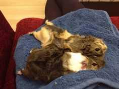 chilled out guinea pigs :-)