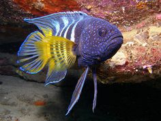 Eastern Blue Devilfish