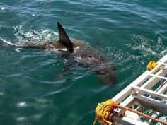 Nail-biting wildlife encounters- Cage dive with great white sharks off South Africa's Western Cape The Great White, Great White Shark, Best Bucket List, Animal Experiences, Nail Biting, Gone Fishing, Adventure Is Out There, Ocean Life, Lonely Planet