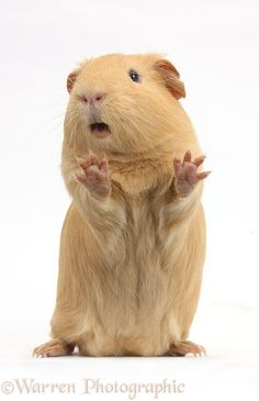 Guinea pig standing up and squeaking