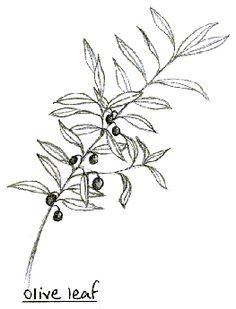 olive leaf - Google Search