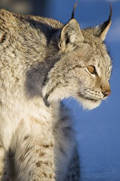 The Lynx is the origin of domestic cats. http://pixdaus.com/rosamorada/user/profile/505843/