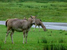 A female Pere David's deer,